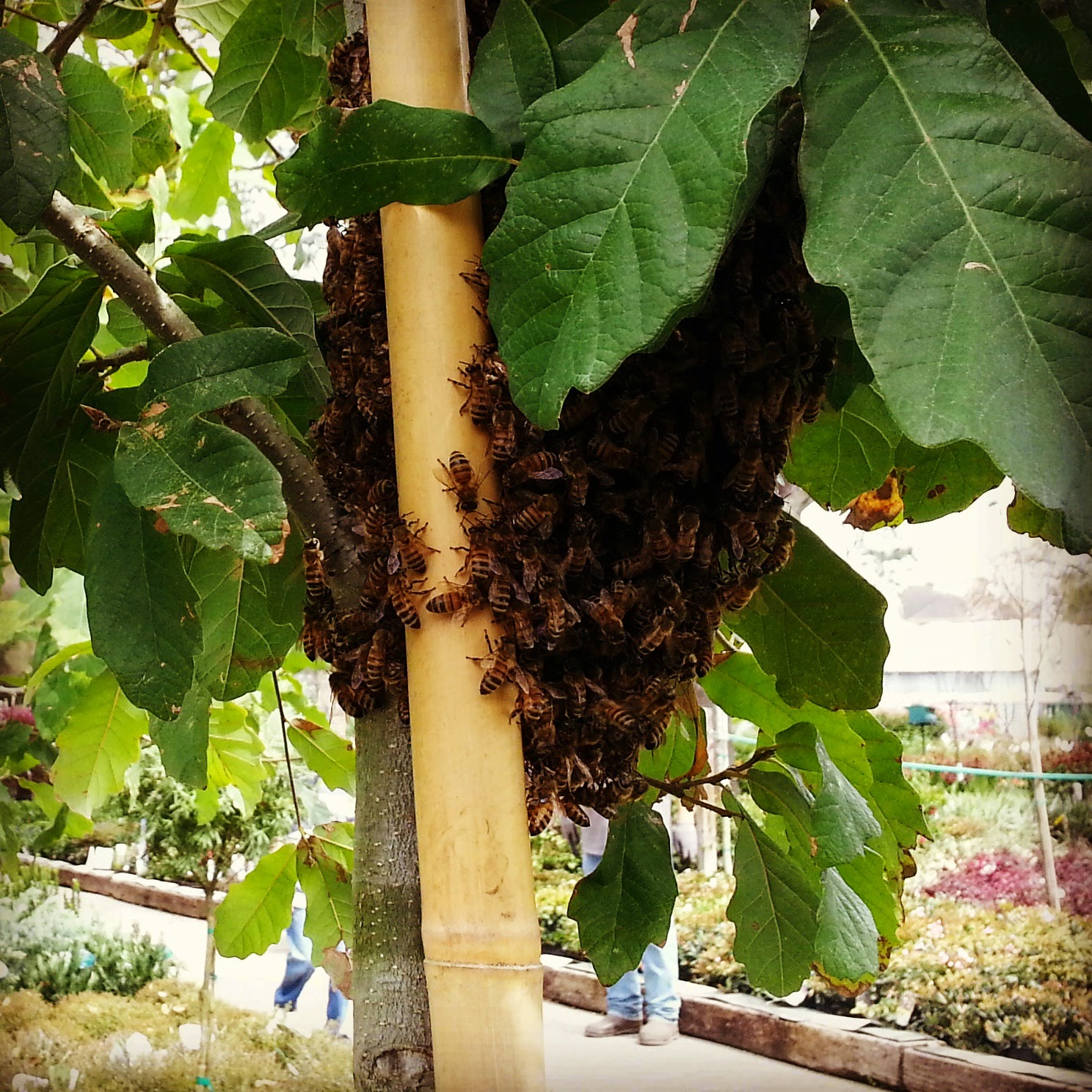 BZ Honey - 2015 Honey Bee Swarm