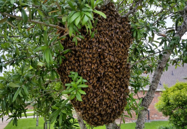 Massive swarm in a front yard tree.