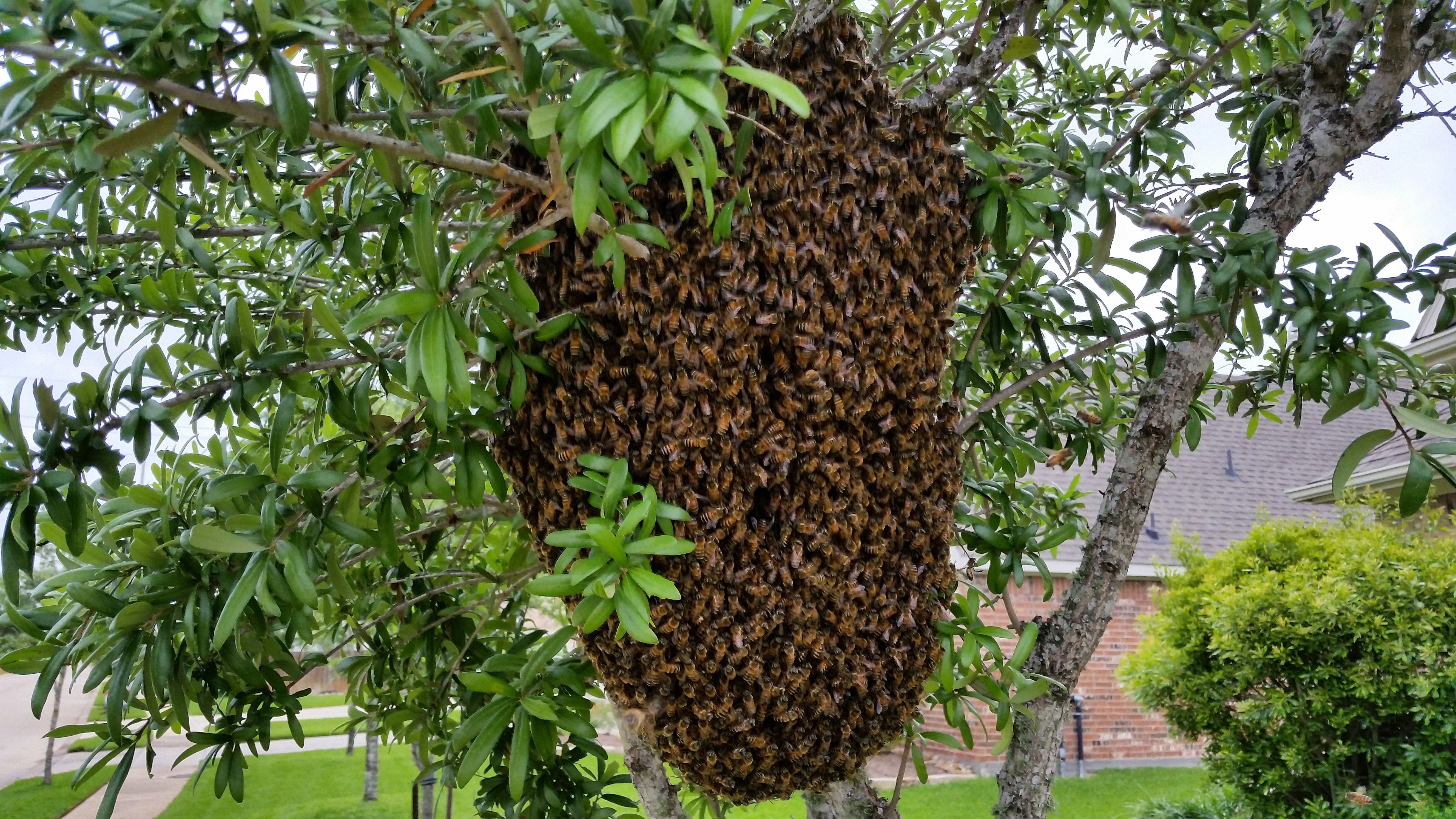 BZ Honey - Massive swarm in a front yard tree.