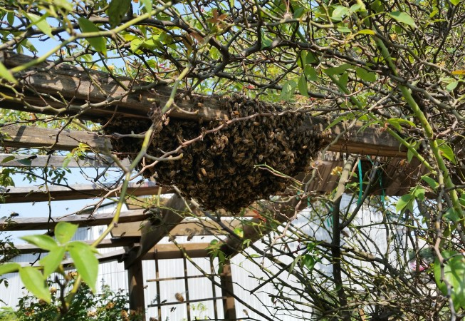 The hive from the cable box swarmed to this arbor.