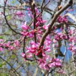 BZ Honey - The redbud blossom is a sure sign of Spring in Texas.