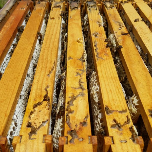 BZ Honey - A quickly growing hive needs weekly inspections in the spring.