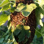 BZ Honey - A healthy swarm of bees settled on a young fig tree.