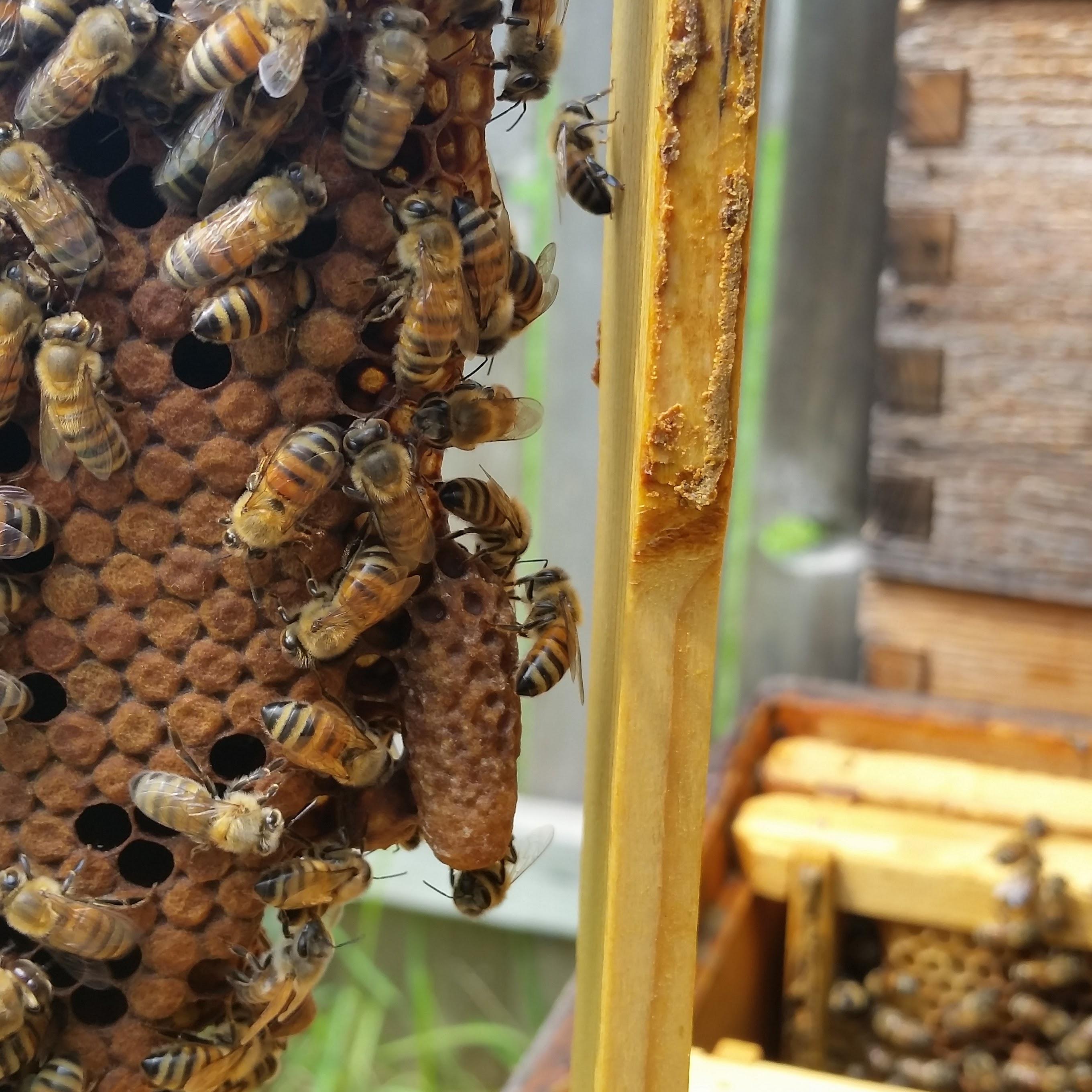 BZ Honey - Queen Barbara II in her cocoon.