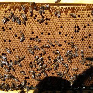 BZ Honey - An efficient brood pattern on a BZ Honey frame.