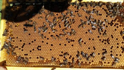 BZ Honey - An efficient brood pattern on a BZ Honey frame.